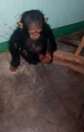 traumatized-baby-chimpanzee-finds-new-home-1