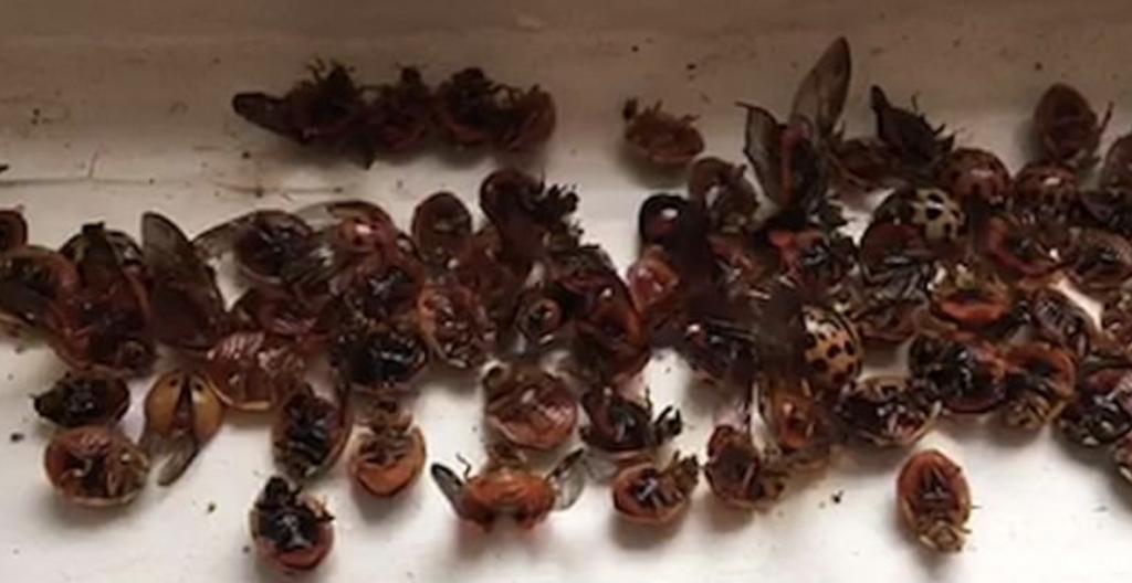 ladybirdinvasion