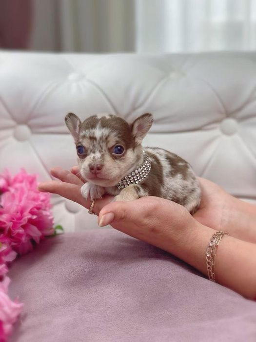 Chihuahua mini choco merle tan Lux!!