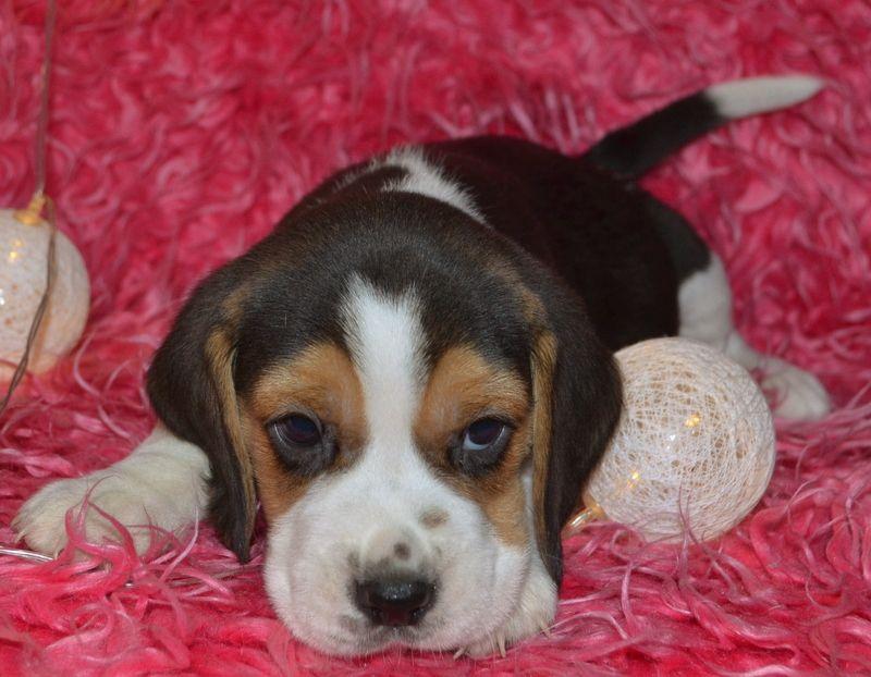 Beagle Sunie I Pieski Piękne Tricolor Polecam