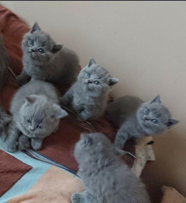 Kocurki Brytyjskie Niebieskie