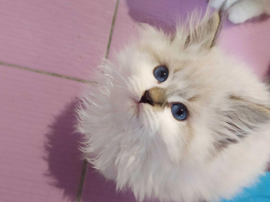 Urocza koteczka Neva Masquerade