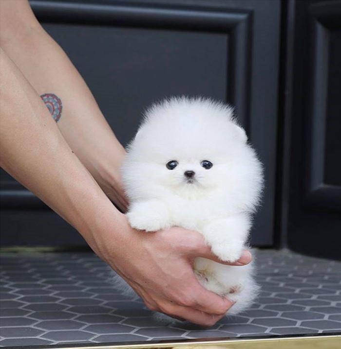 Szczenięta Pomeranian - Szpic miniaturowy