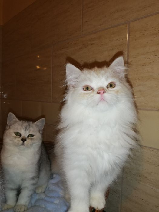 Koty kocięta brytyjskie