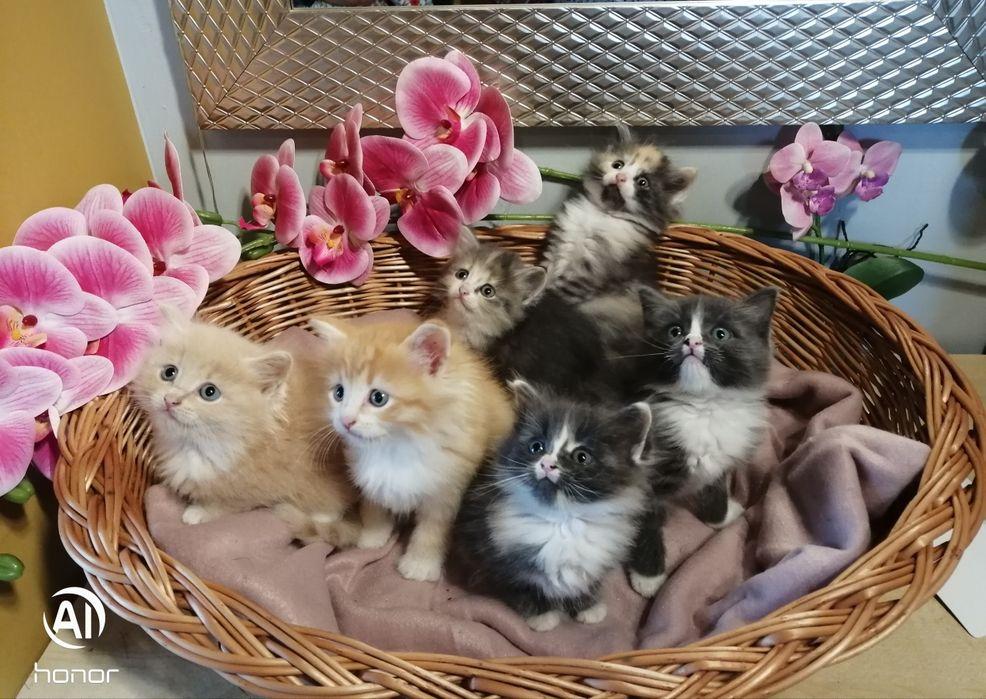 Przepiękne kocięta syberyjskie rodowód FIFE