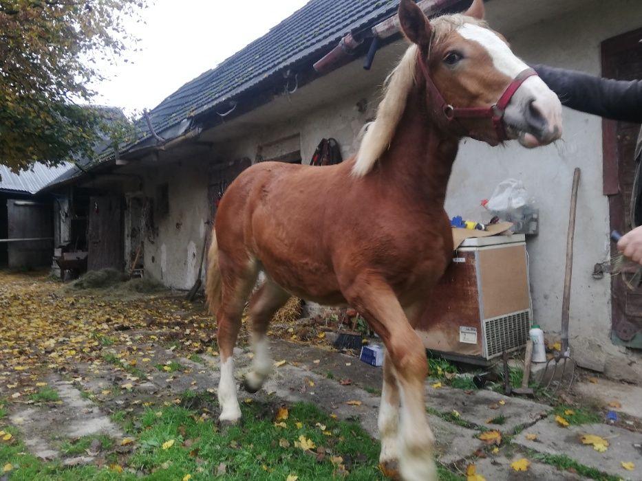 Źrebica Klacz Konie