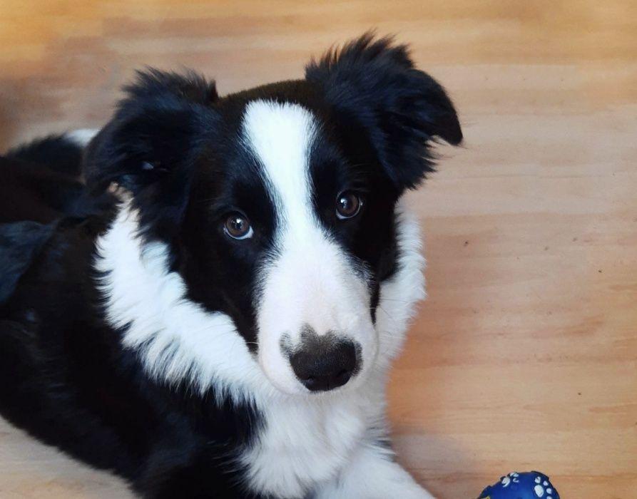 Border Collie - szczeniak 5 miesięcy