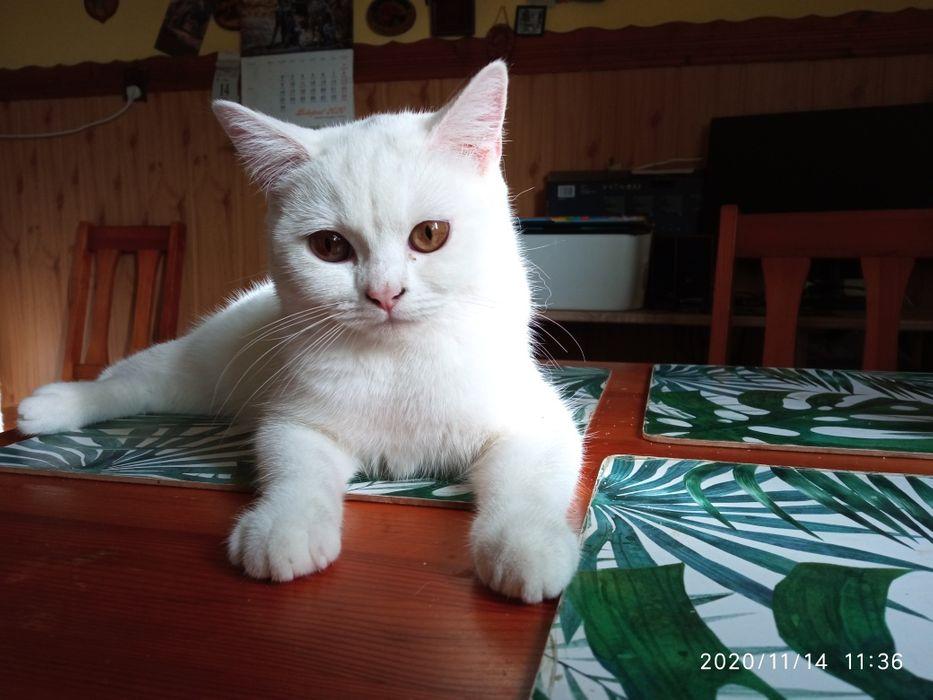 Brytyjski ładna kotka