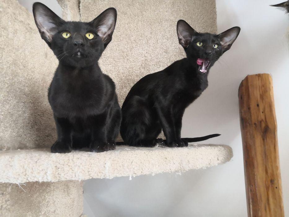 Kot orientalny krótkowłosy - kocurek
