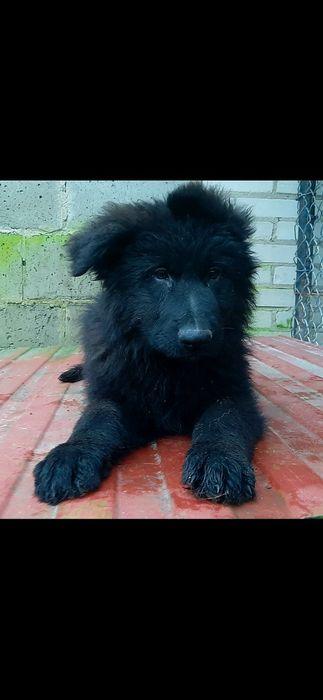 Owczarek Niemiecki Czarny Pies