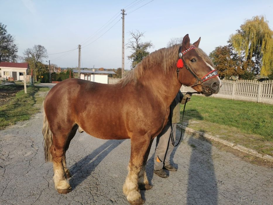 Koń zimnokrwisty