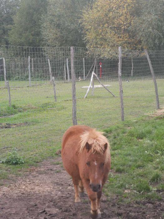 Konie, kuce klacz