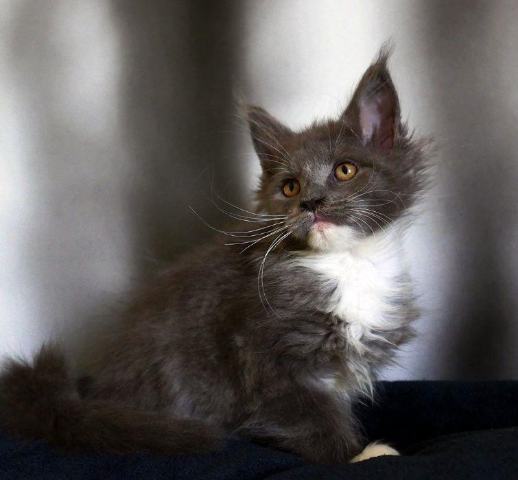 Śliczna kotka Maine Coon linia duzych kotow
