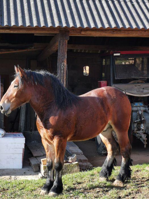 koń ogier gniady