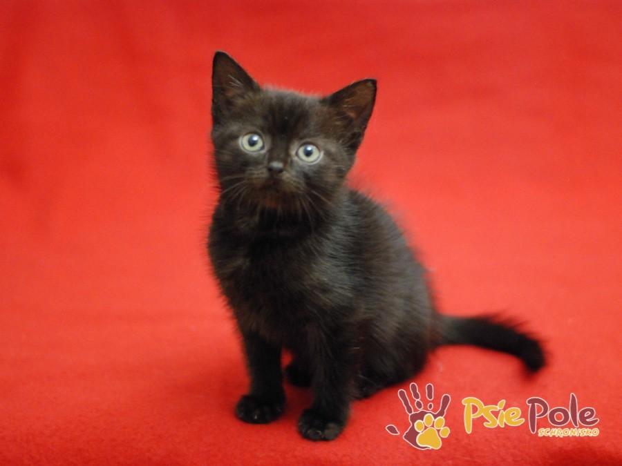 CZEJENKA-Super kochana, wspaniała, cudowna, piękna mała kiciausia-adopcja