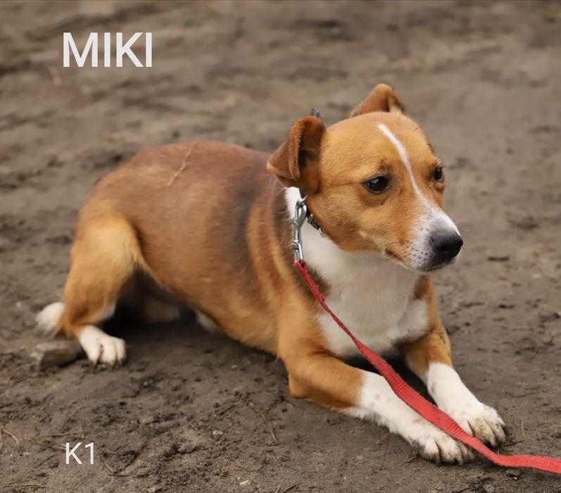 MIKI, nieśmiały pies szuka domu