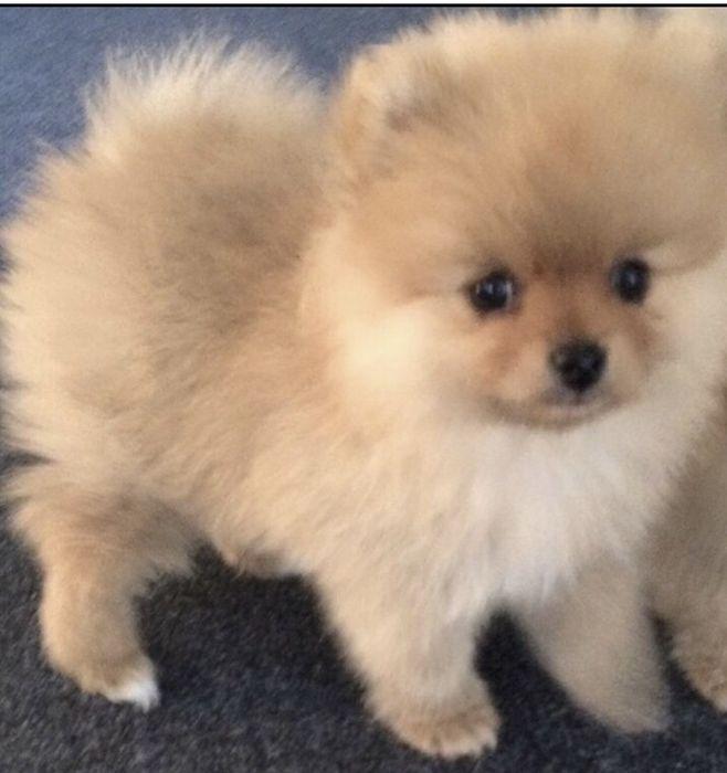 """Pomeranian szczenieta """"teacup"""""""