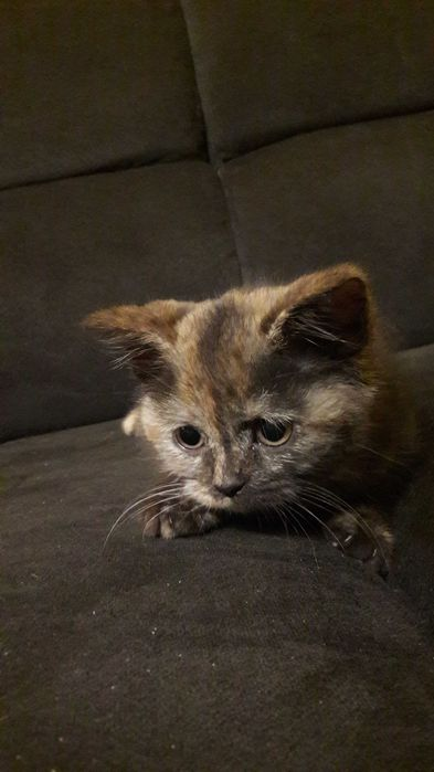 Wyjątkowa koteczka - szylkret