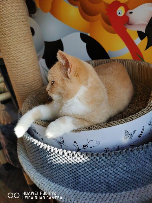 Kot Brytyjski gotowy do odbioru możliwy dowóz