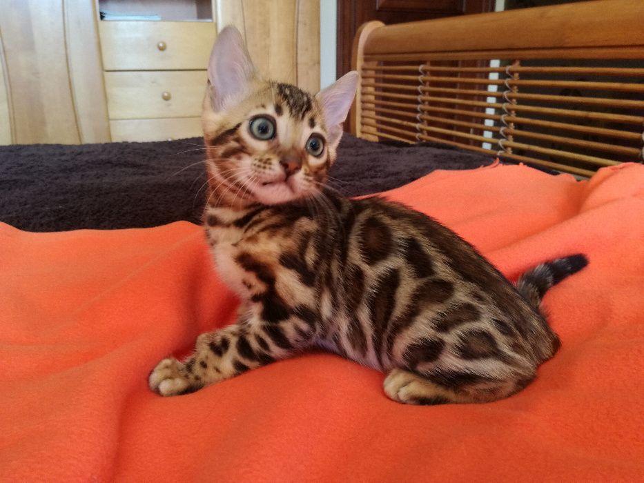 Wspaniałe kociaki bengalskie-urocze lamparciki! Hodowla Bengal Gold