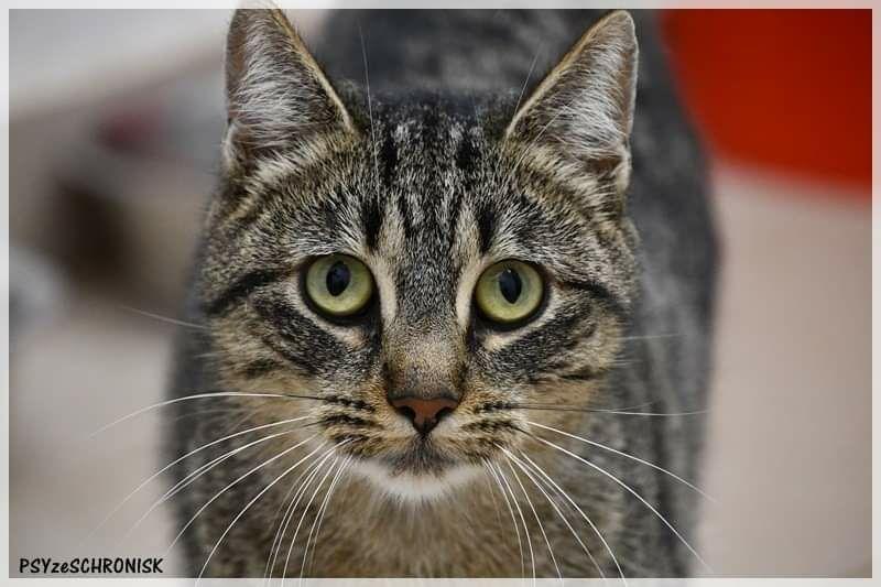 Kera młoda ciekawska kotka