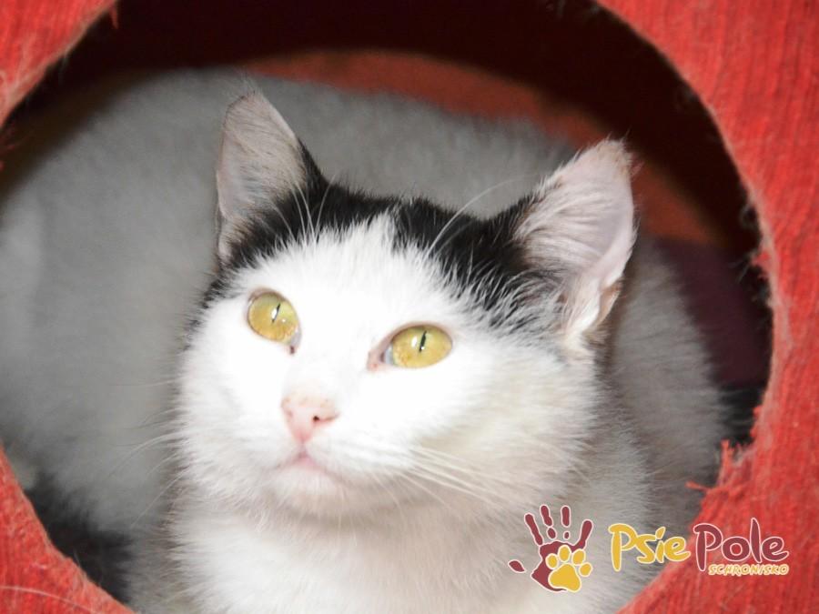 FRAJDUSIA-super miła, grzeczna, kochana koteczka-szukamy troskliwego domu, adopcja