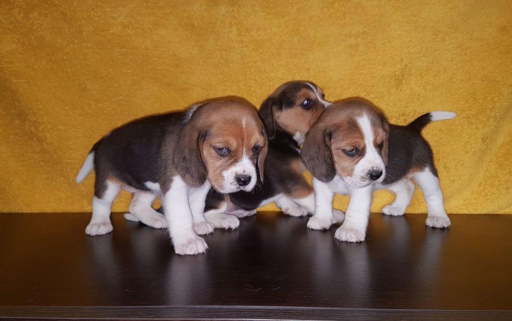 Beagle tricolor z Rodowodem.
