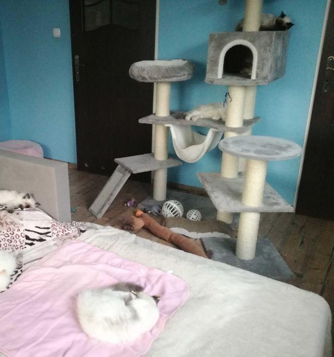 Koty Ragdoll z Pałacu Rodowod 5 pokoleń przodki FPL