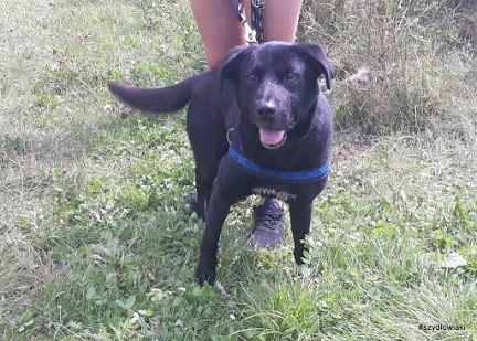 Stachu-przyjacielski,energiczny,aktywny psiak mix labrador