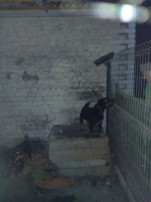 Suka terrier niemiecki