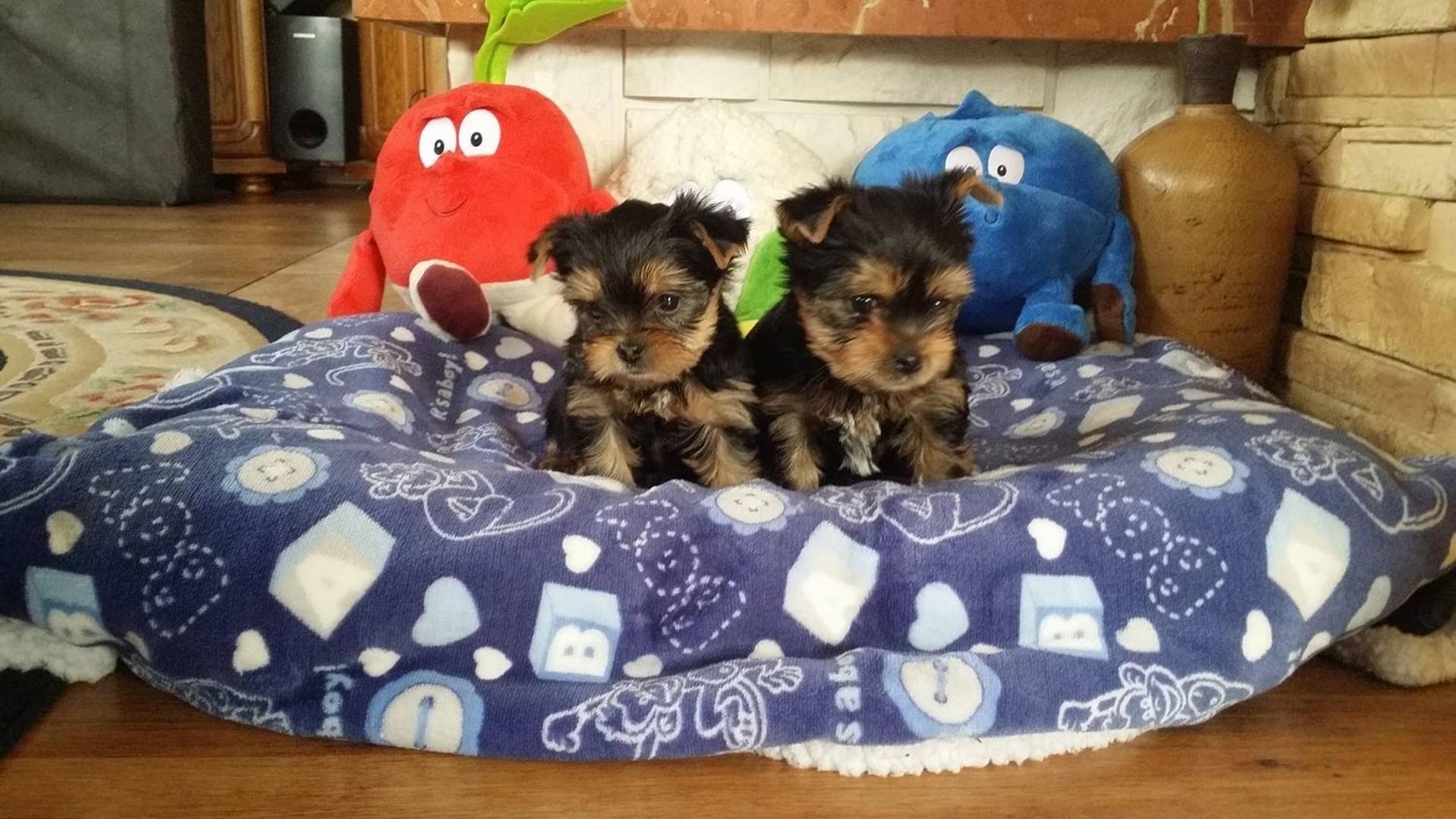 Yorki Miniaturki! MINI Yorkshire Terrier