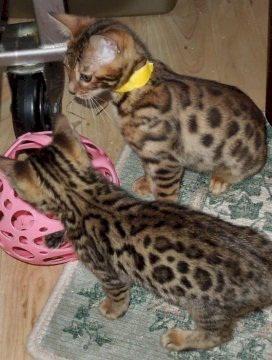 2 urocze kocięta bengalskie wyszkolone w domu