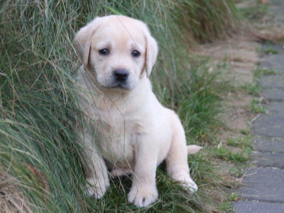 Labrador biszkoptowy