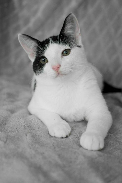 Wyjątkowy, bardzo kontaktowy koci młodzieniec Morris szuka domu
