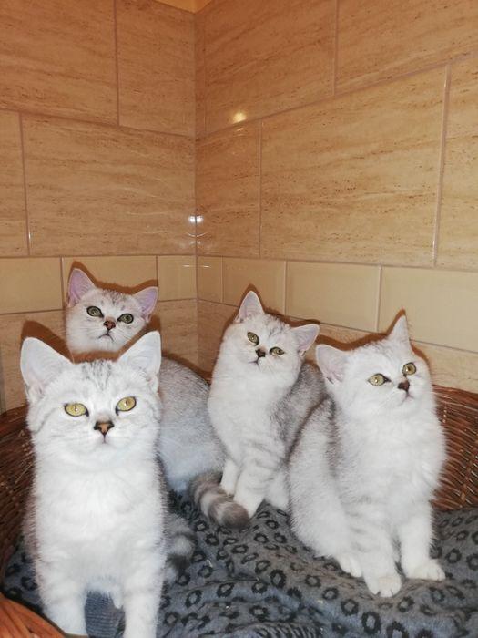 Kotki koty kocięta brytyjskie