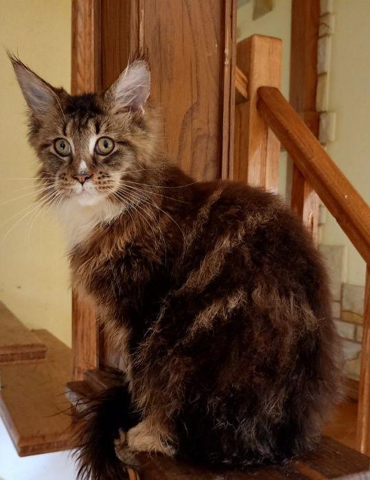 Śliczny kocurek Maine Coon linia duzych kotow