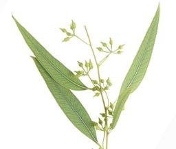 eucalipto1.jpg