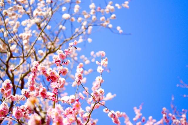 梅の歴史や種類って?令和の梅まつりを楽しむために知っておきたい豆知識をご紹介!