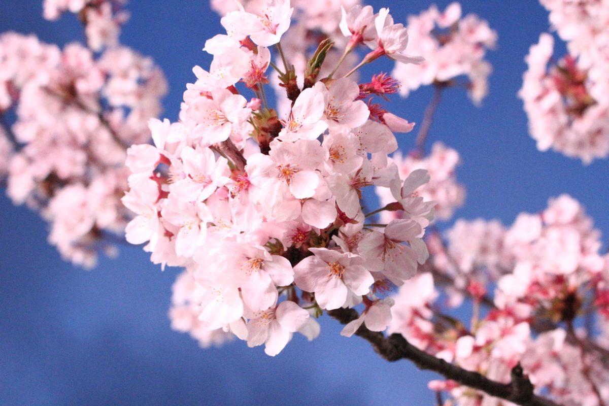 千葉のお花見スポットおススメ5選!見どころやアクセス情報をご紹介♪