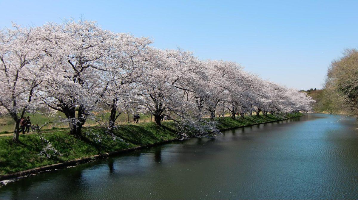 福岡のお花見スポットおススメ5選♪樹齢◯◯◯年の桜や夜桜も楽しめる!