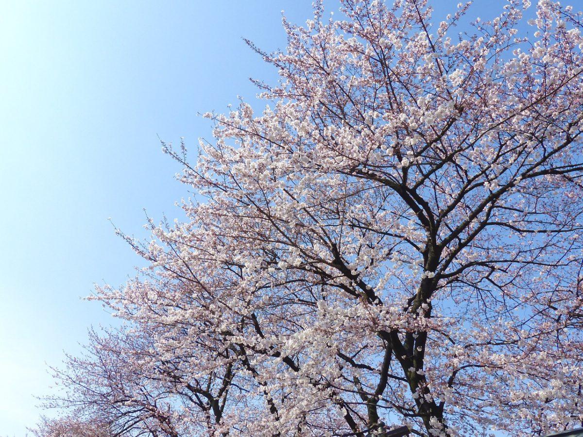 お花見情報@代々木公園!おススメのお花見スポットや園内設備をご紹介♪