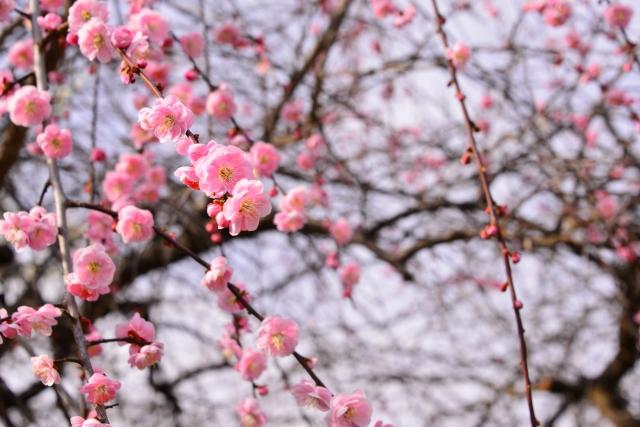 梅まつりで春を満喫しよう!全国の見所7選!
