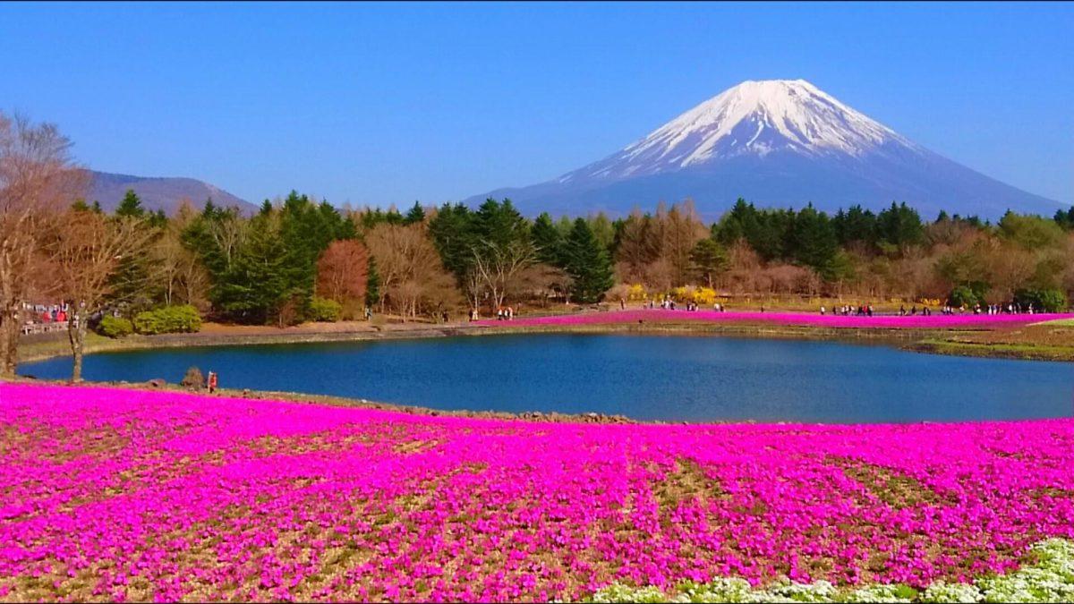 大型連休に出かけたい!「富士芝桜まつり」は富士山×芝桜のピンクが絶景!見どころをご紹介♪