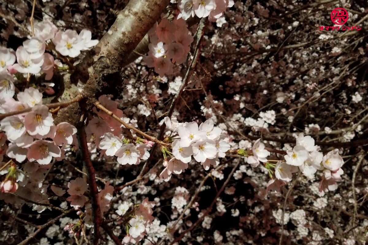 夜桜と花火の競演!業界屈指の野村花火が見られる辰ノ口さくら祭り。