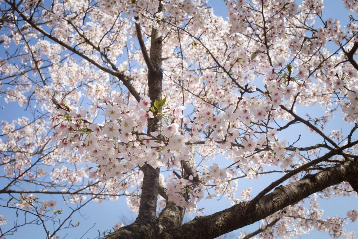 2019年の見頃はいつ?幸手桜まつりに足を運んだ人々の映え投稿をご紹介!