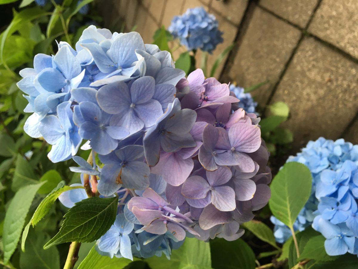 明月院のあじさい「明月院ブルー」〜鎌倉で静かに楽しめるあじさいをご紹介〜
