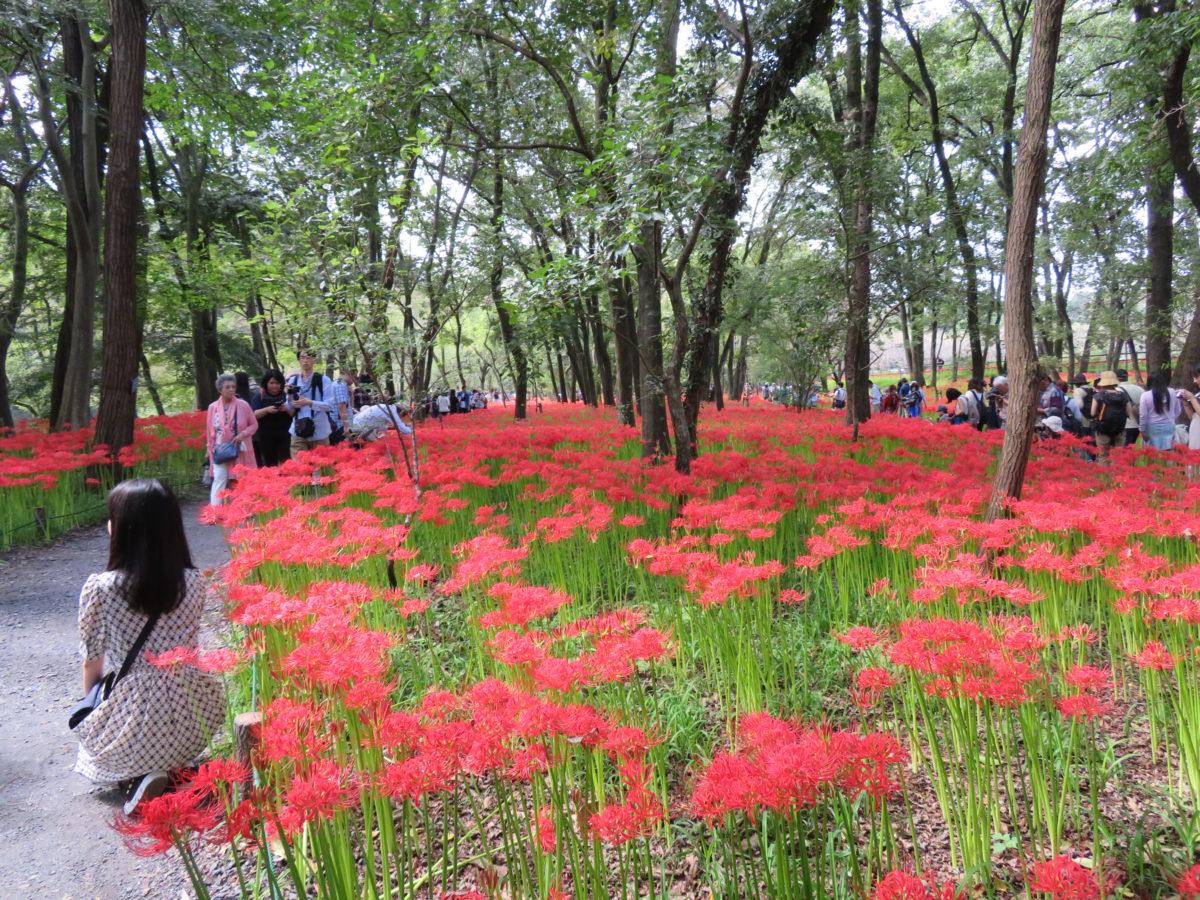 「巾着田曼珠沙華まつり」、高麗川の河川敷に赤い絨毯を敷きつめる約500万本のヒガンバナ
