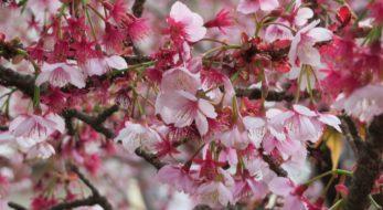 「あたみ桜糸川桜まつり」年明け早々に日本で最も早く咲く「あたみ桜」