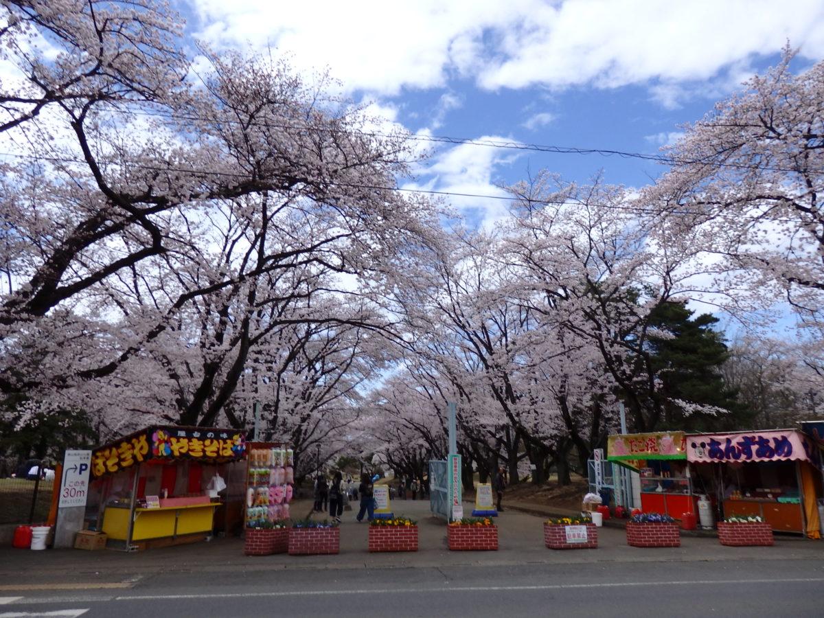 「狭山稲荷山公園桜まつり」かつての米軍基地で、長い枝を張り出し公園の上空を覆う桜の花