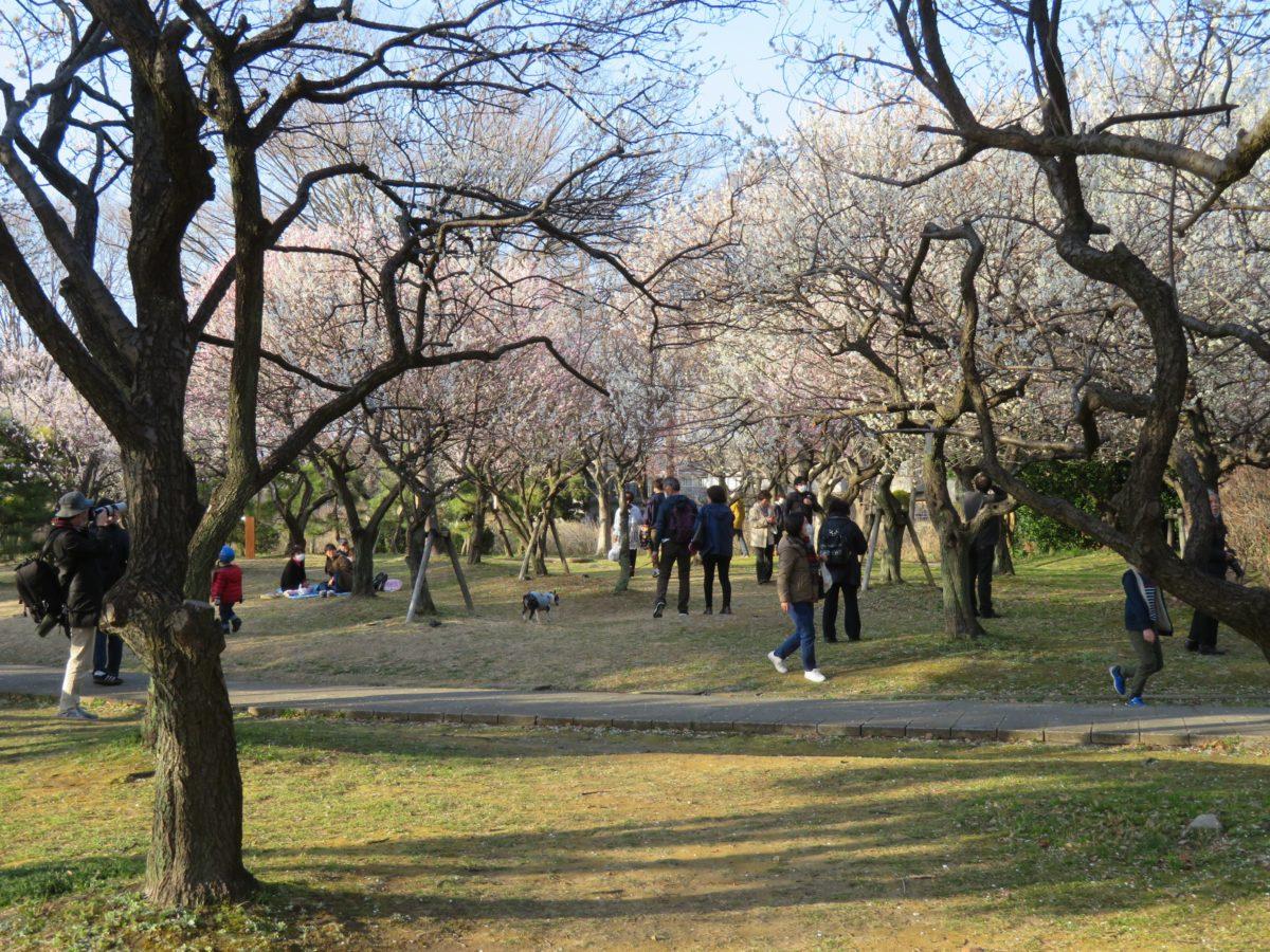 【大宮第二公園梅まつり】梅林に育つ数々の銘木から漂う初春の香り